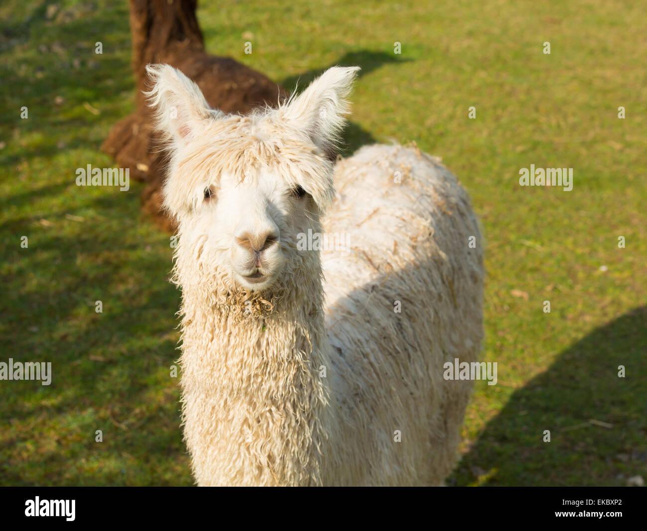 Alpaga blanc ressemble à de petits camélidés sud-américains avec le blason de lama utilisés Photo Stock