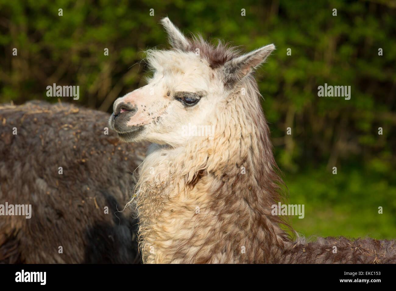 Alpaga mignon dans le profil de camélidés sud-américains ressemble à petit manteau avec lama Photo Stock