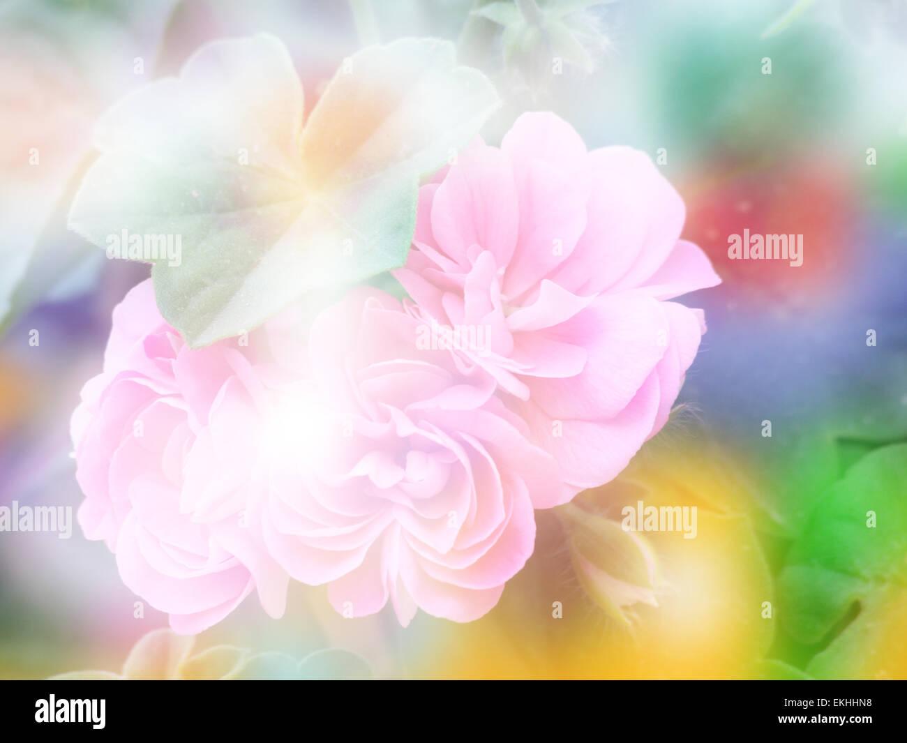 Double exposition Fleur de géranium avec arrière-plan flou Banque D'Images
