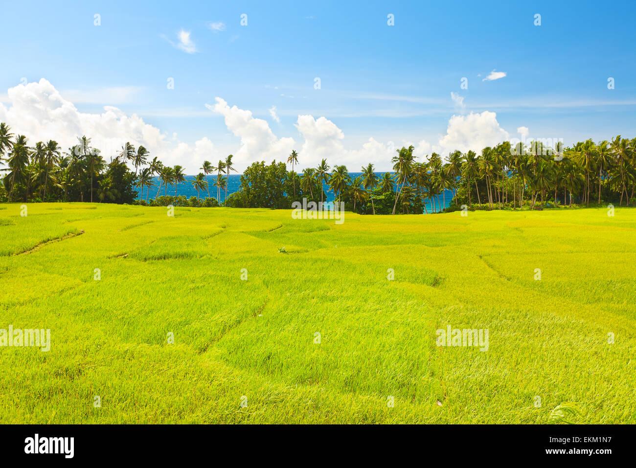 Champ de riz paddy. Mer sur l'arrière-plan Photo Stock