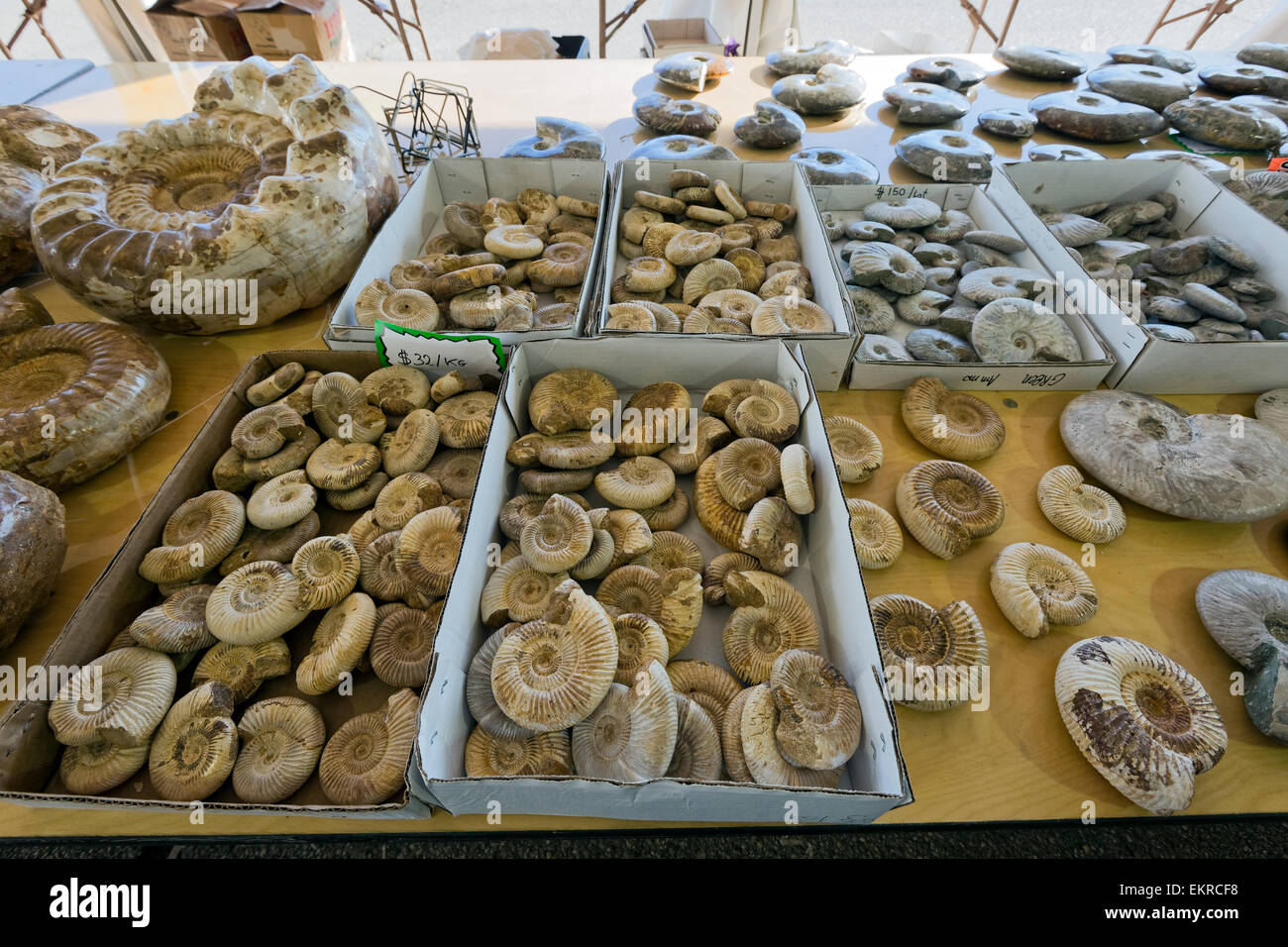 Pour la vente, fossiles d'ammonites Tucson Gem and Mineral Show, Tucson, Arizona Photo Stock