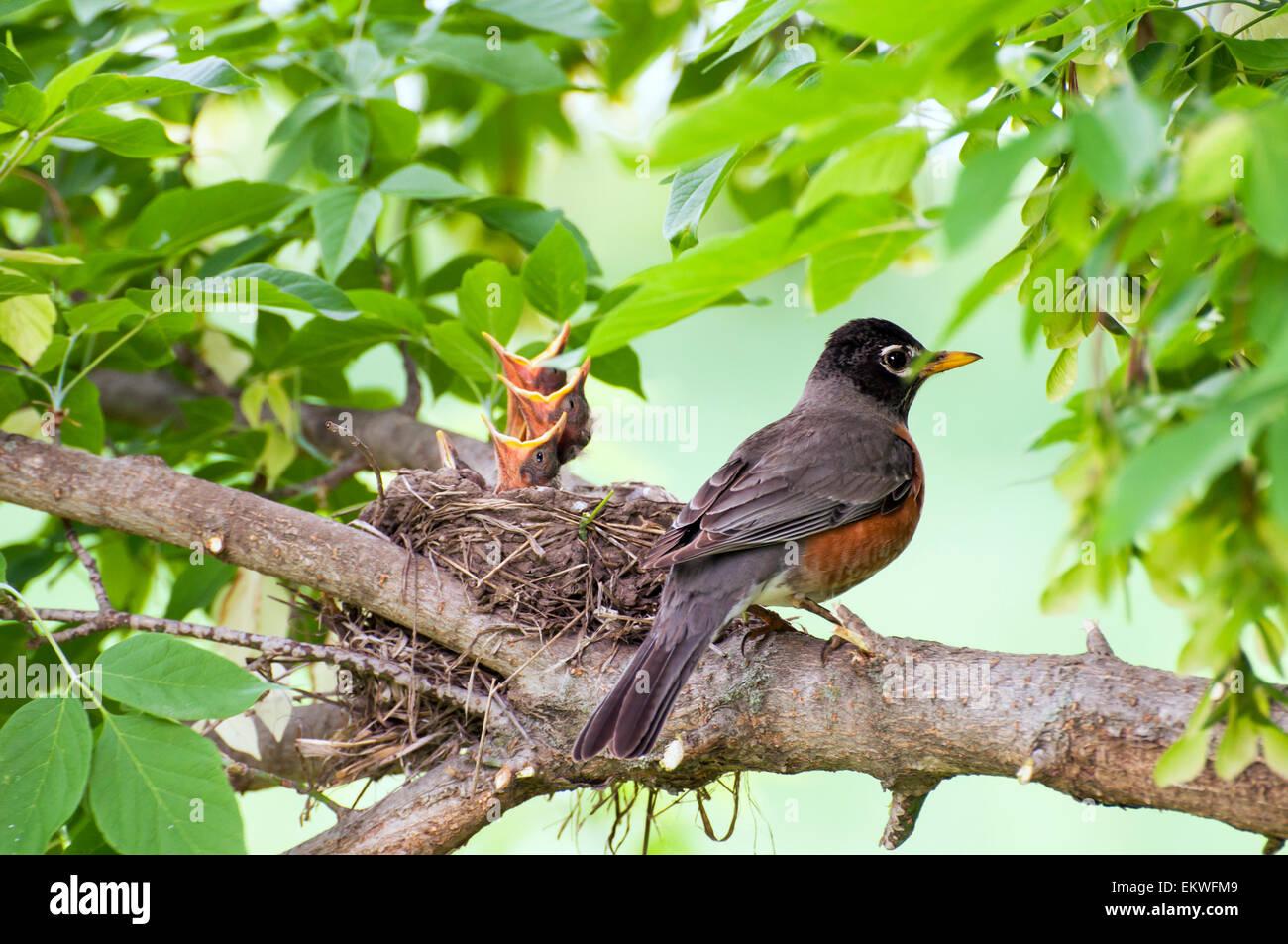 Robin oiseau sur branche en nid d'oiseaux bébé Banque D'Images