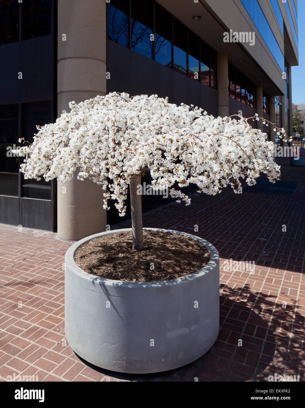 Cerisier pleureur en fleurs contenues dans un semoir, l'extérieur d'un immeuble de bureaux urbains Photo Stock