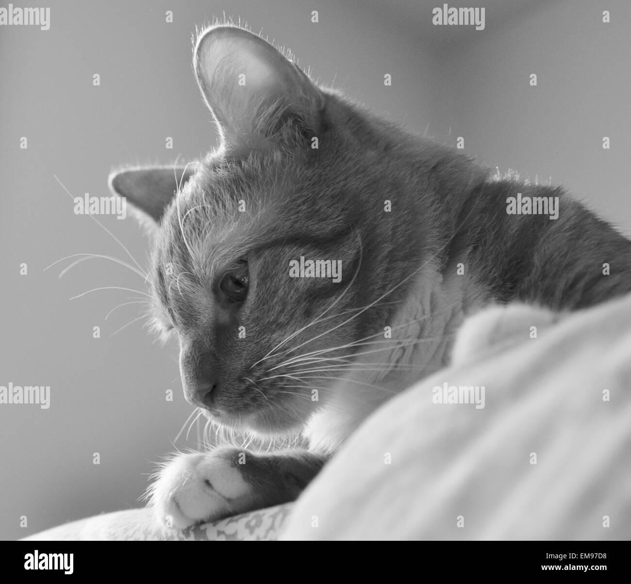 Noir et blanc à rayures de tigre chat curieux. Banque D'Images