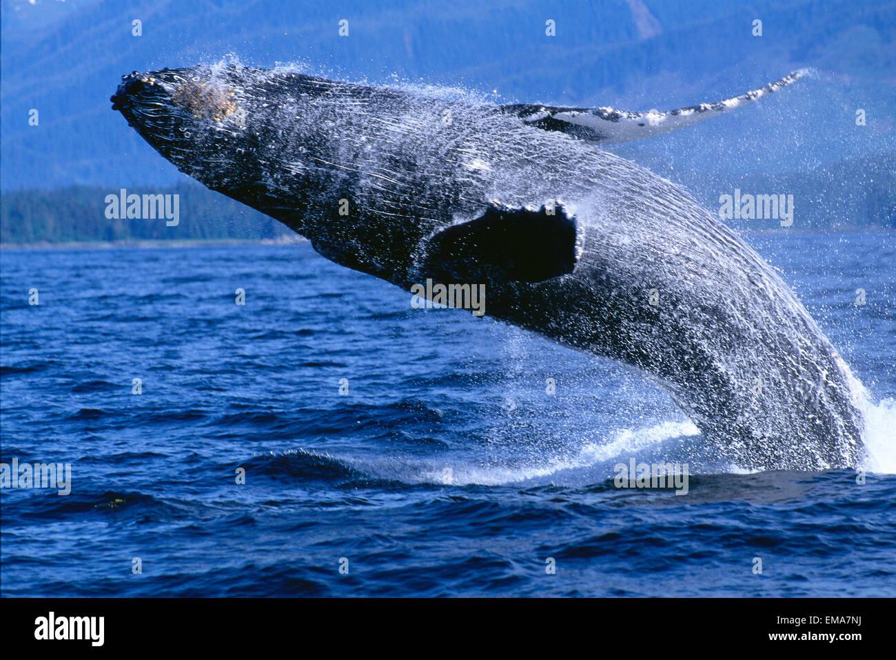 /énorme baleine /à bosse au Canada noir // blanc Taille: 60x40 sur toile moins cher que la peinture ou une peinture /&agr impression dart sur murale avec cadre XXL /énormes Photos compl/ètement encadr/ées avec civi/ère