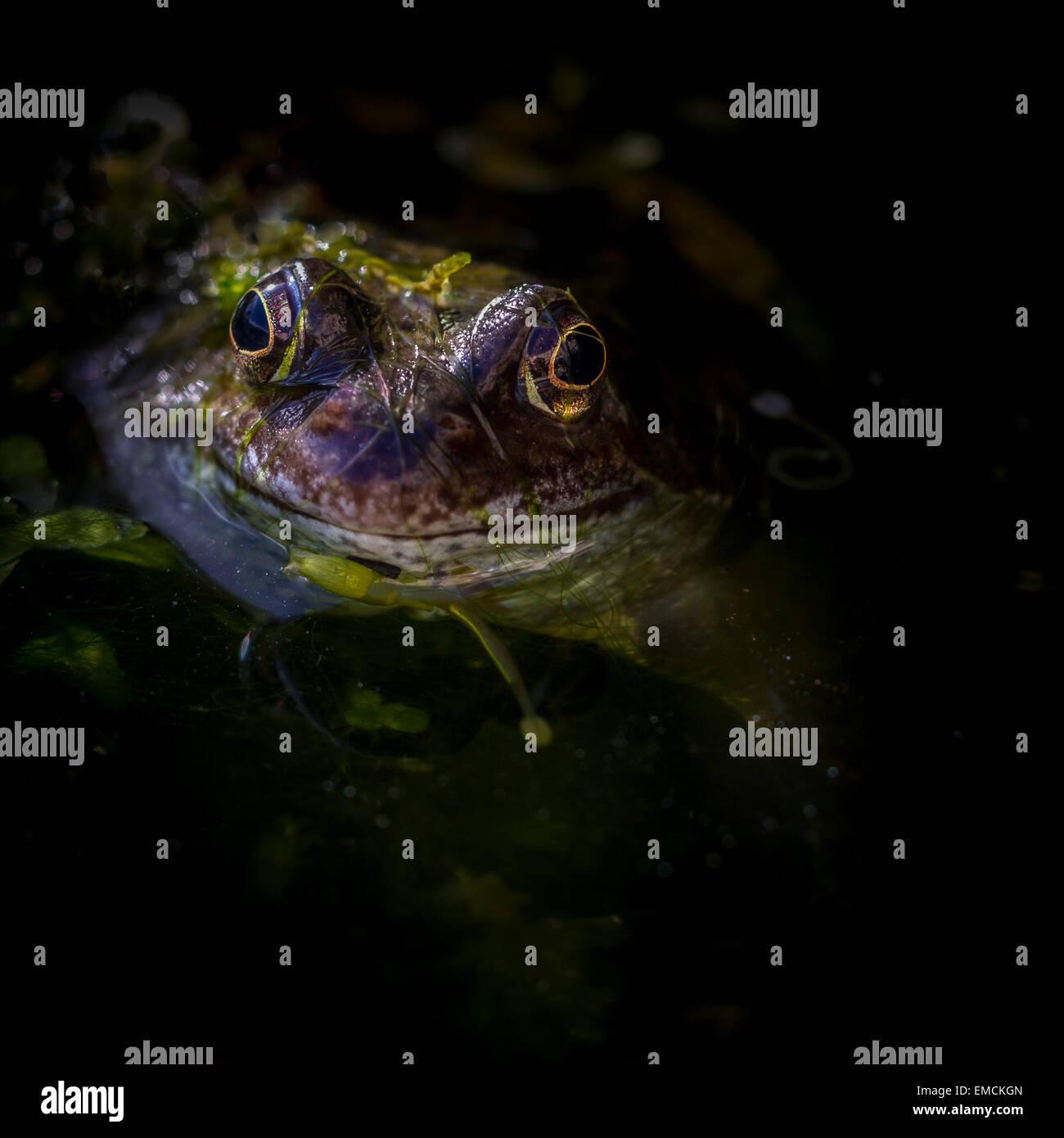 grenouille étang datant psoriasis célibataires datant