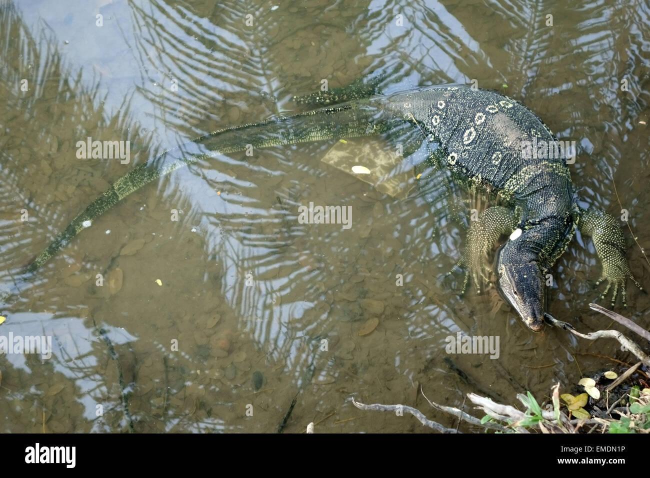 Un grand Varan, Varanus salvator, dans l'eau au bord du lac dans le Parc Lumphini dans le centre de Bangkok Photo Stock
