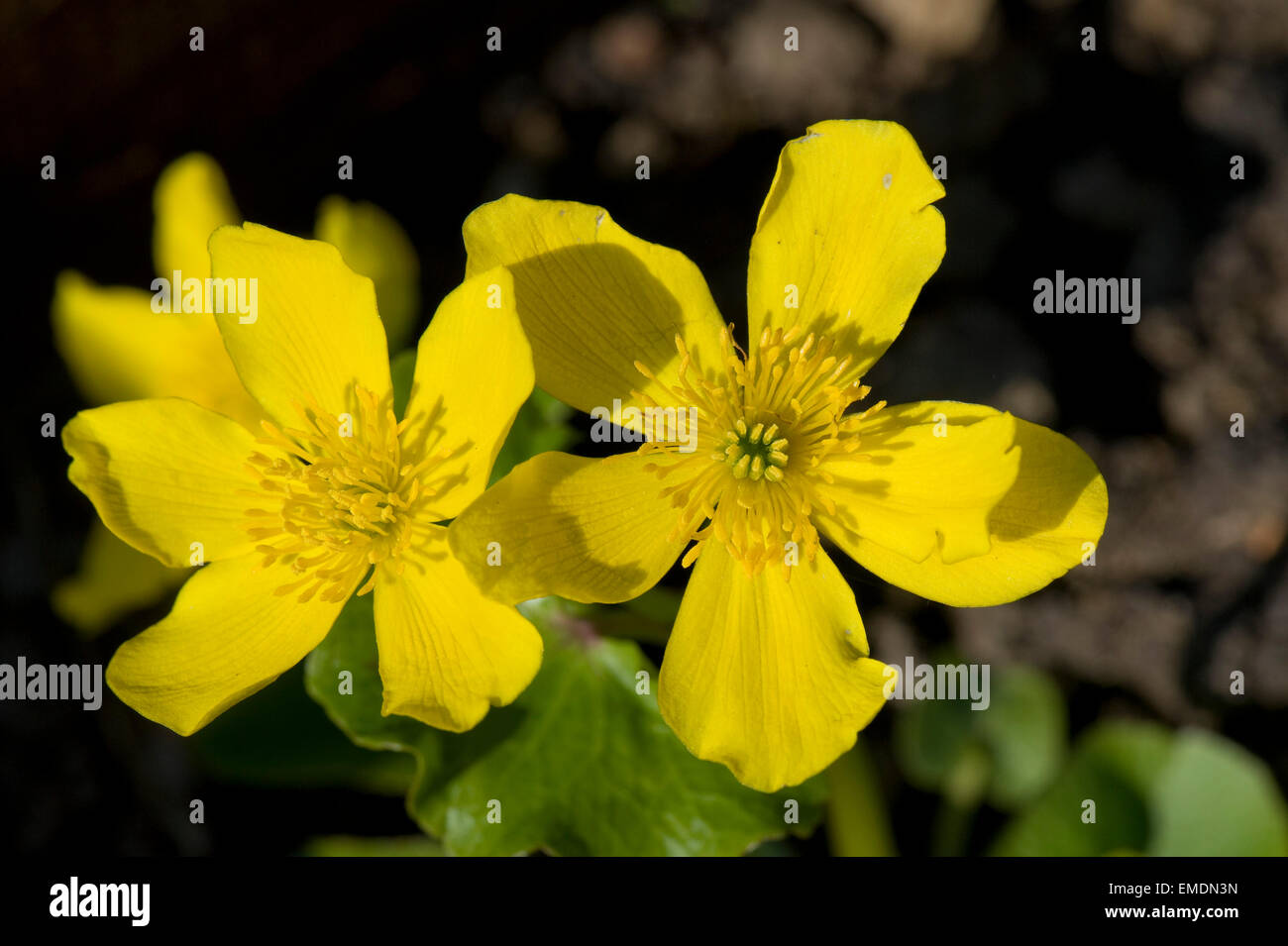 plante aquatique a fleur jaune