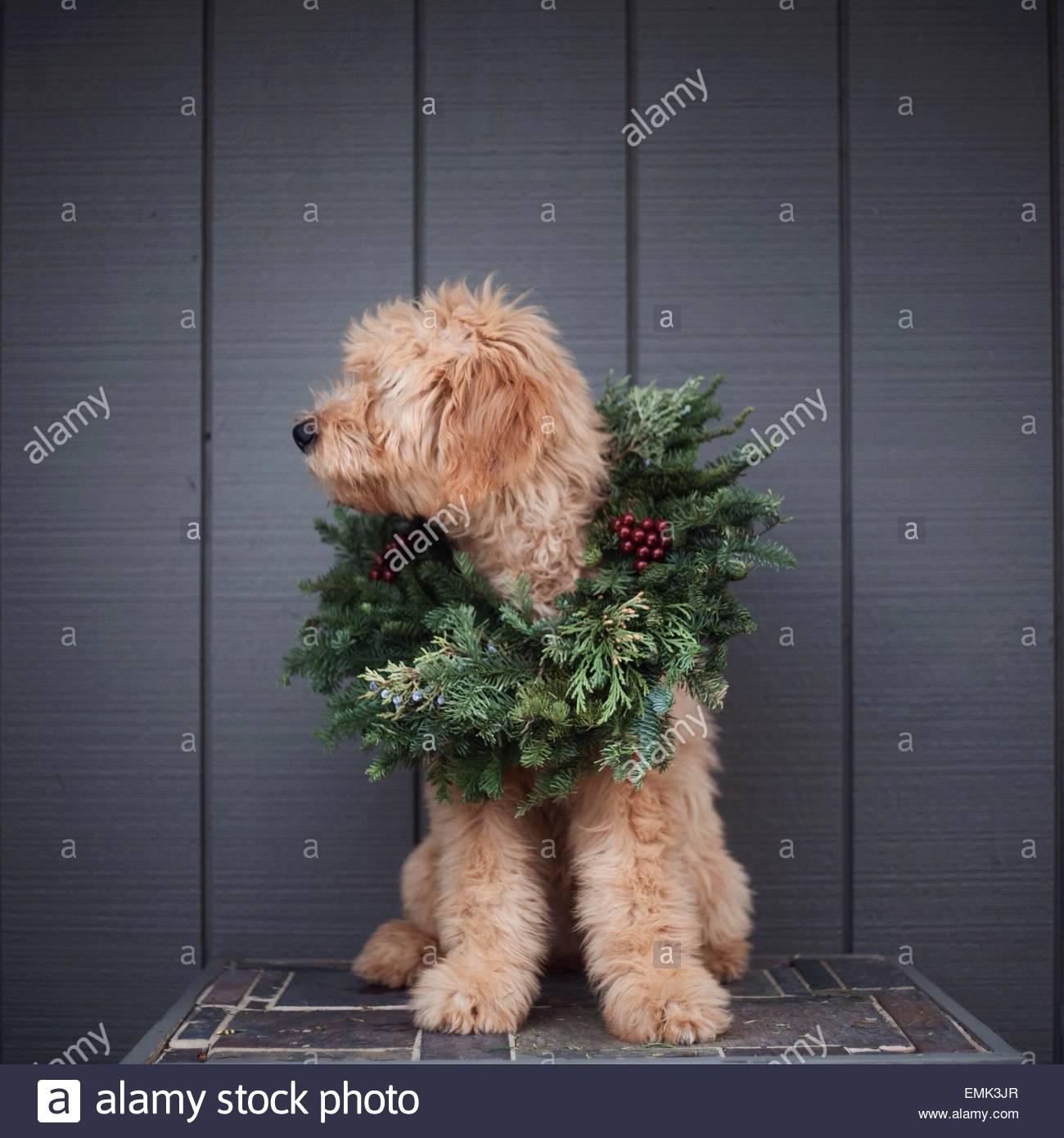 Chien assis en couronne de Noël Photo Stock