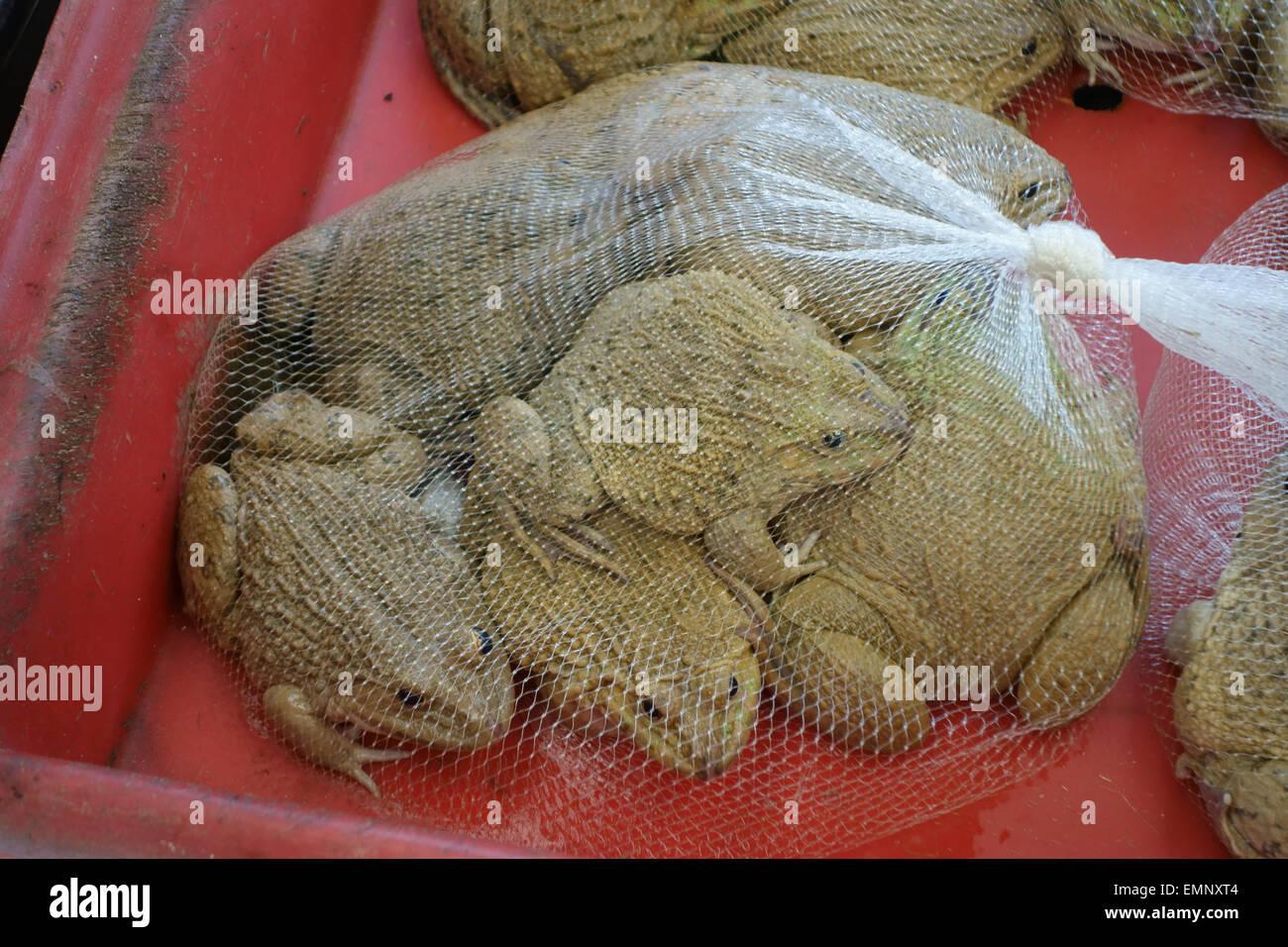 Les grenouilles comestibles chinois, Hoplobatrachus rugulosus, amphibiens vivant dans un sac filet dans un marché Photo Stock