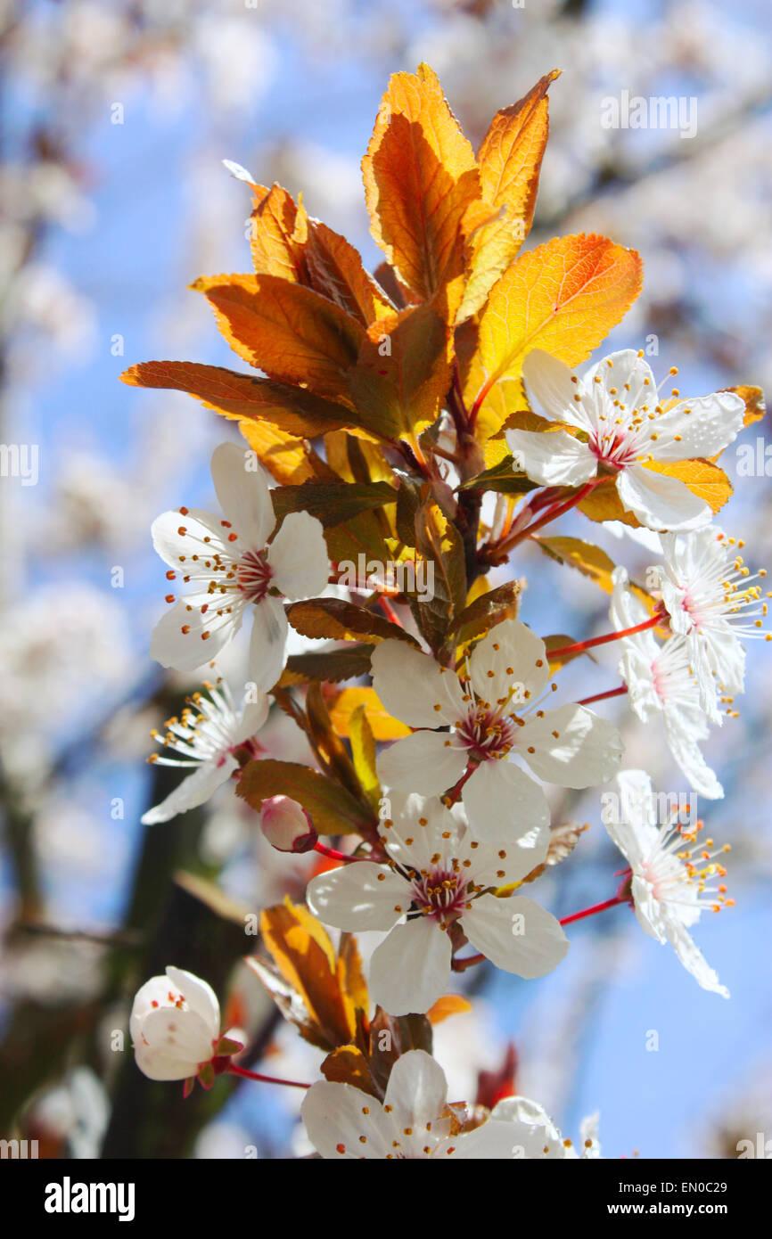 Fleur de cerisier blanc fleurs dans la saison du printemps Photo Stock