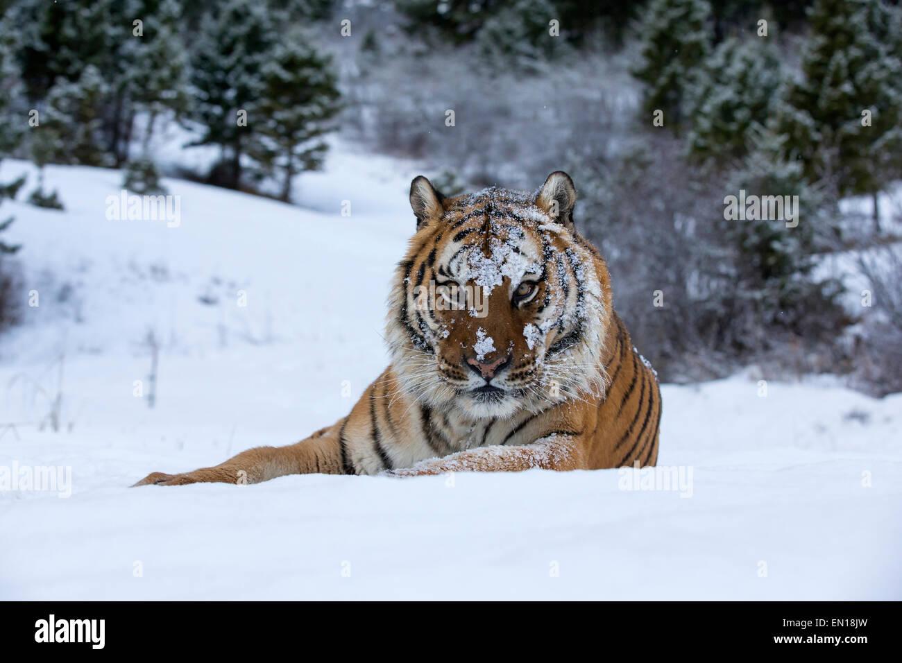 Tigre de Sibérie (Panthera tigris altaica) adulte assis dans la neige Photo Stock