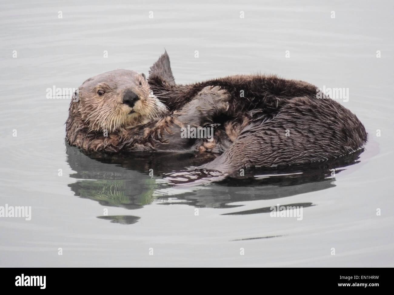 Loutre de mer (Enhydra lutris). Les loutres de mer sont l'un des plus petits de la famille des mammifères Photo Stock