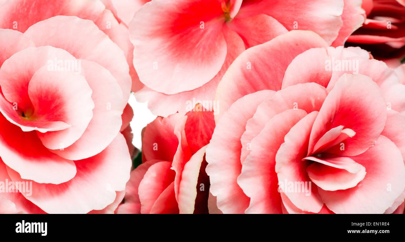 Close Up Detail de bouquet de fleurs bégonia Rose idéal pour les fonds généraux Photo Stock