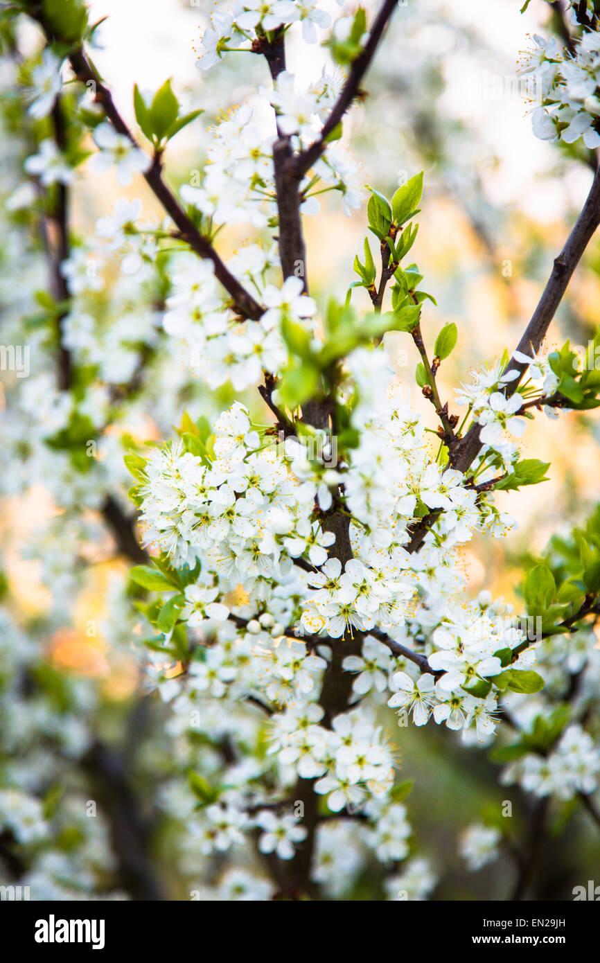 Les Fleurs De Cerisier Blanc Banque D Images Photo Stock 81800729