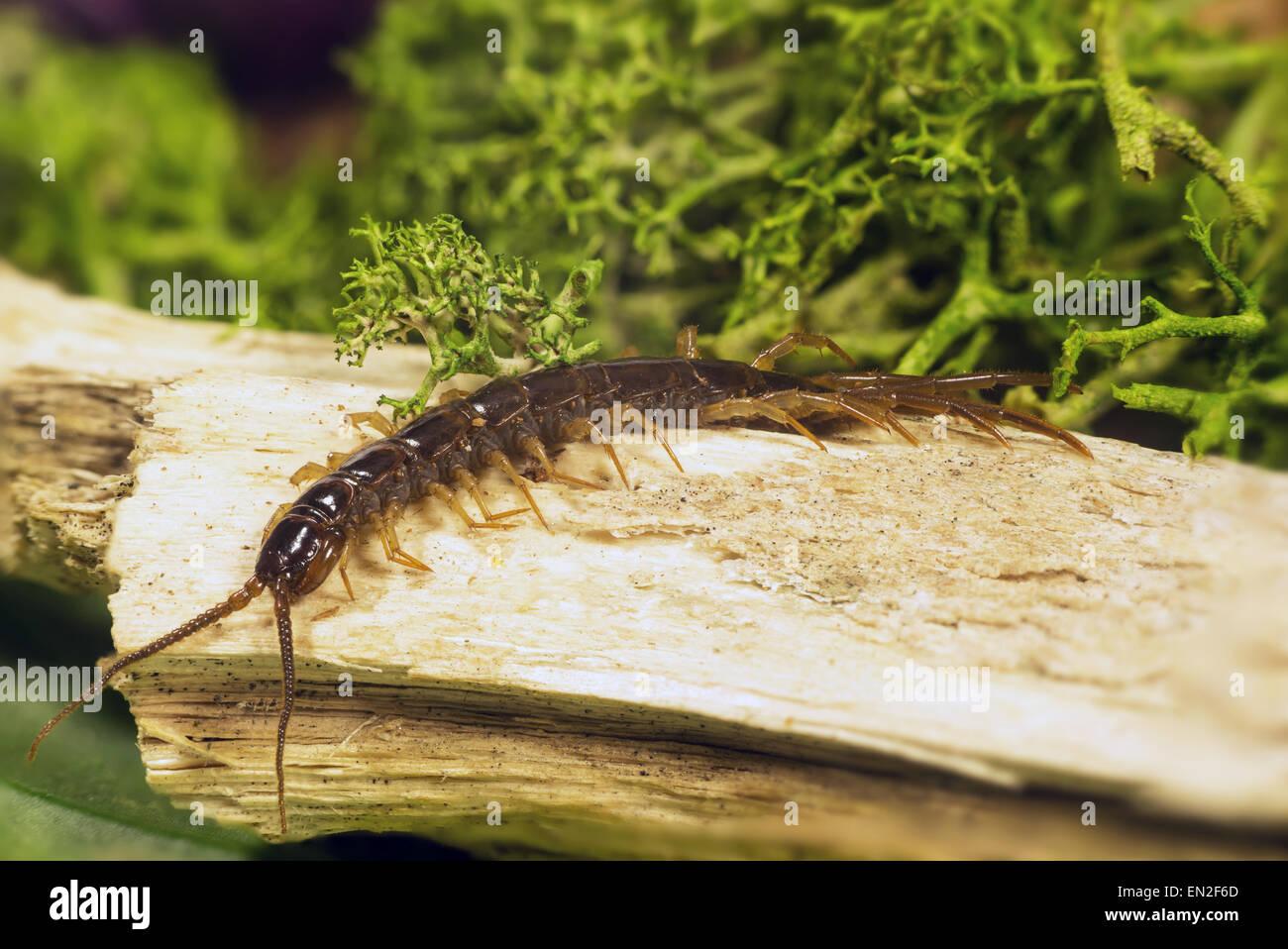 Arthropodes appartenant à la classe des sous-type Chilopoda Myriopodes Photo Stock