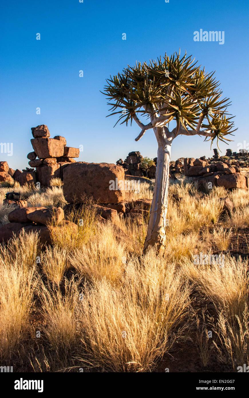 Aire de jeu géant, montrant des rochers dolérite et un carquois Tree, l'Aloe dichotoma, Keetmannshoop, Photo Stock