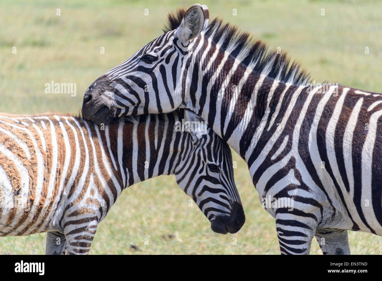 Equus quagga Zebra famille dans la Ngorongoro Conservation Area, Tanzania, Africa. Photo Stock