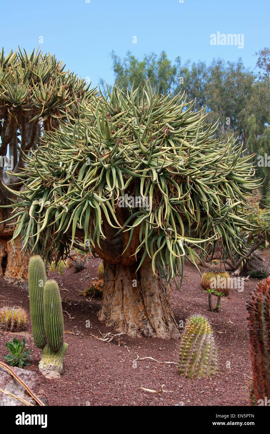 Quiver Tree ou Kokerboom, Aloe dichotoma, Asphodeloideae, Xanthorrhoeaceae, précédemment Aloaceae. La Photo Stock