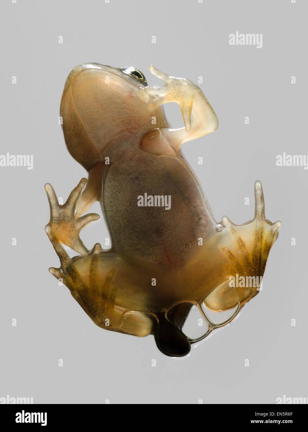 Grenouillette de grenouille rousse Rana temporaria escalade sur verre Banque D'Images