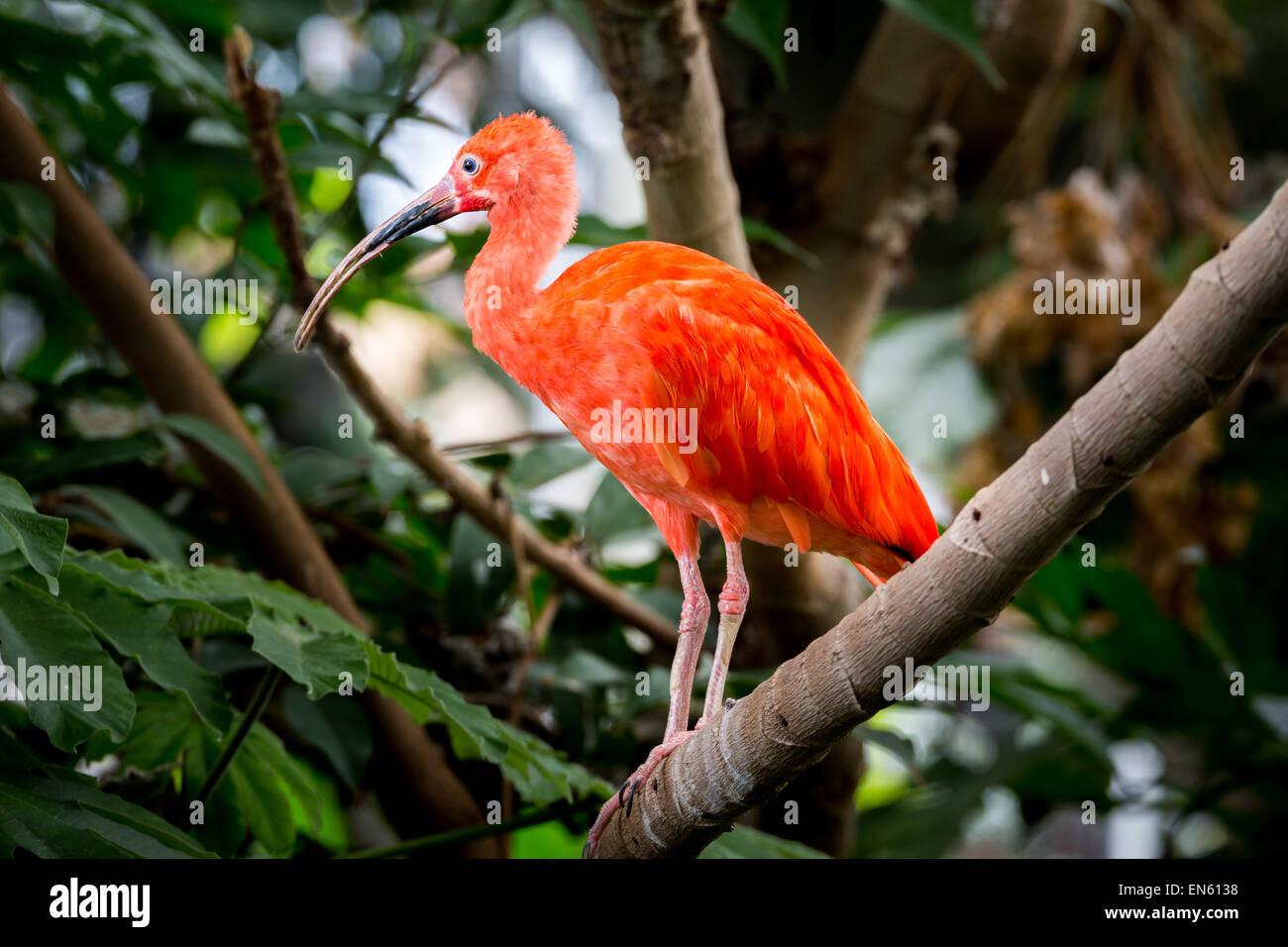 Ibis rouge perché sur une branche de la forêt tropicale. Photo Stock