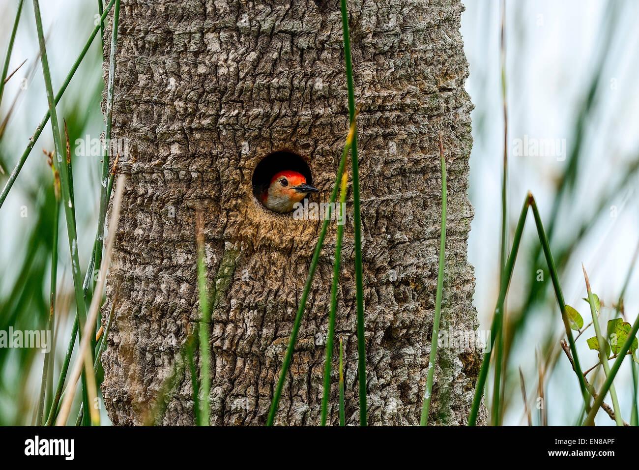 Le Pic à ventre roux, zones humides viera Photo Stock