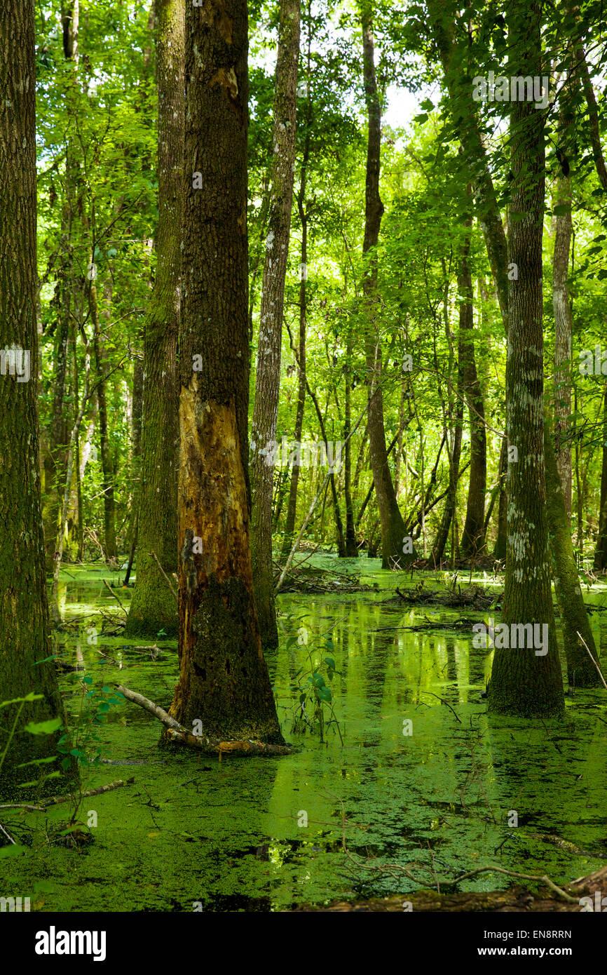 Un vert lumineux marais de Floride dans l'après-midi du soleil. Banque D'Images