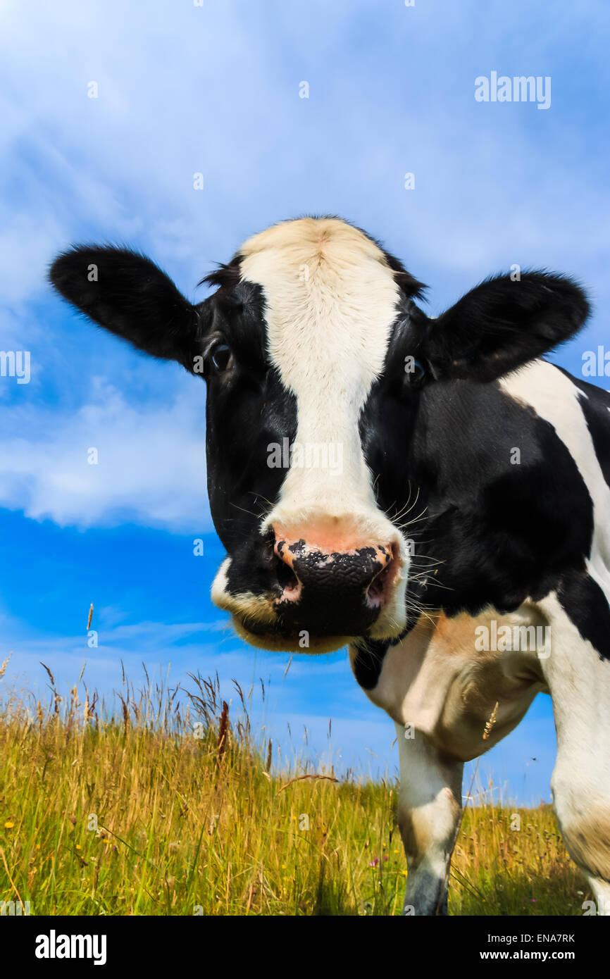 Curieux Holstein vache frisonne close-up dans le champ. Photo Stock