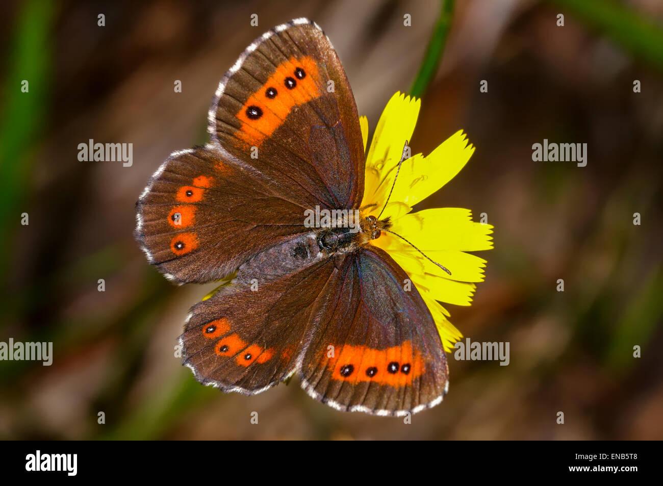 Erebia ligea, arran brown Photo Stock
