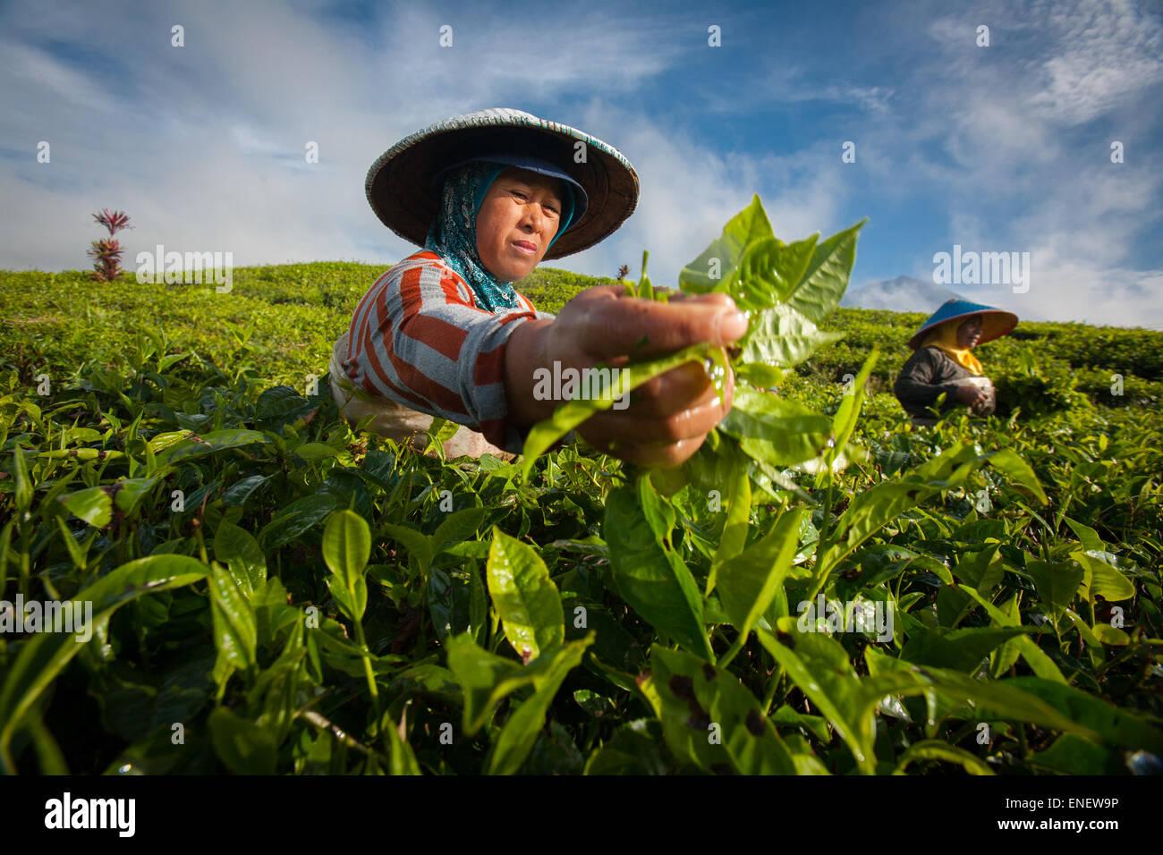 Les cueilleurs de thé dans la région de Kayu Aro la plantation de thé, Jambi, Sumatra. Photo Stock