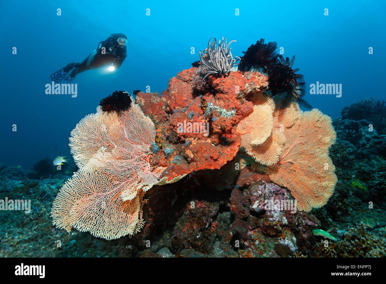 Au coral reef à plongeur avec divers coraux, éponges et crinoïdes, Bali Photo Stock
