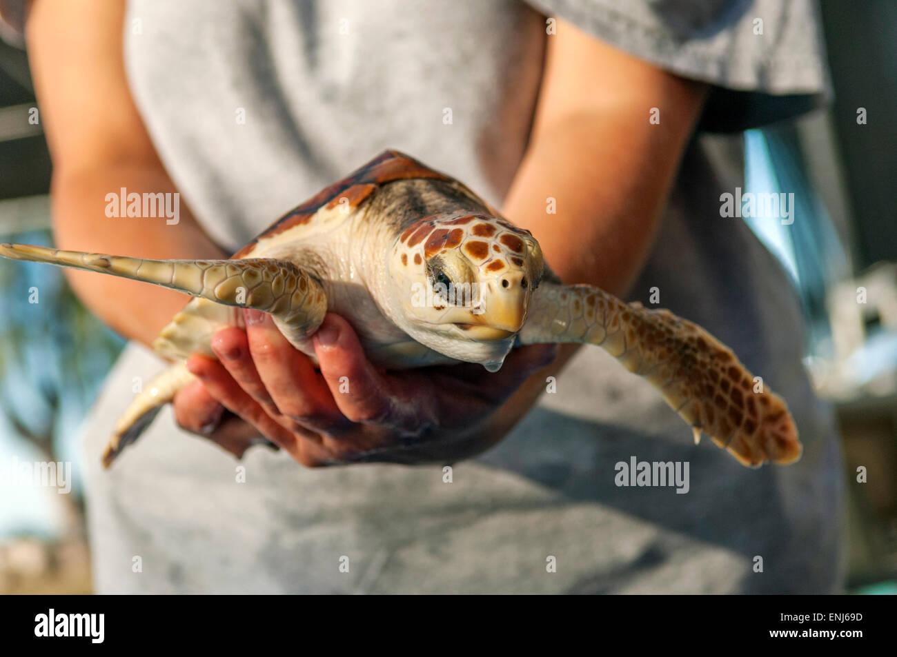 Un vétérinaire détenant une tortue blessée et malade à l'hôpital des tortues. Photo Stock