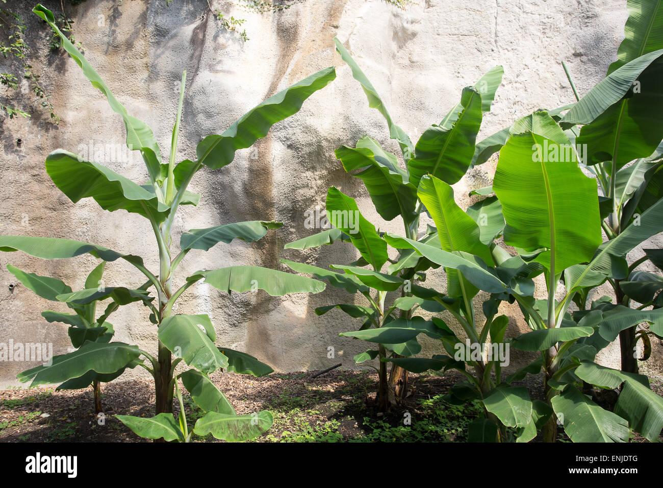 Arbre à caoutchouc éclairées par la photosynthèse foliaire rock Photo Stock