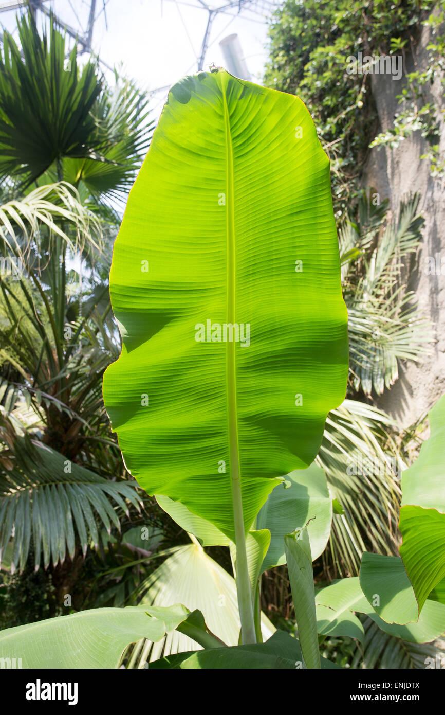 Arbre à caoutchouc éclairées par la photosynthèse foliaire Photo Stock