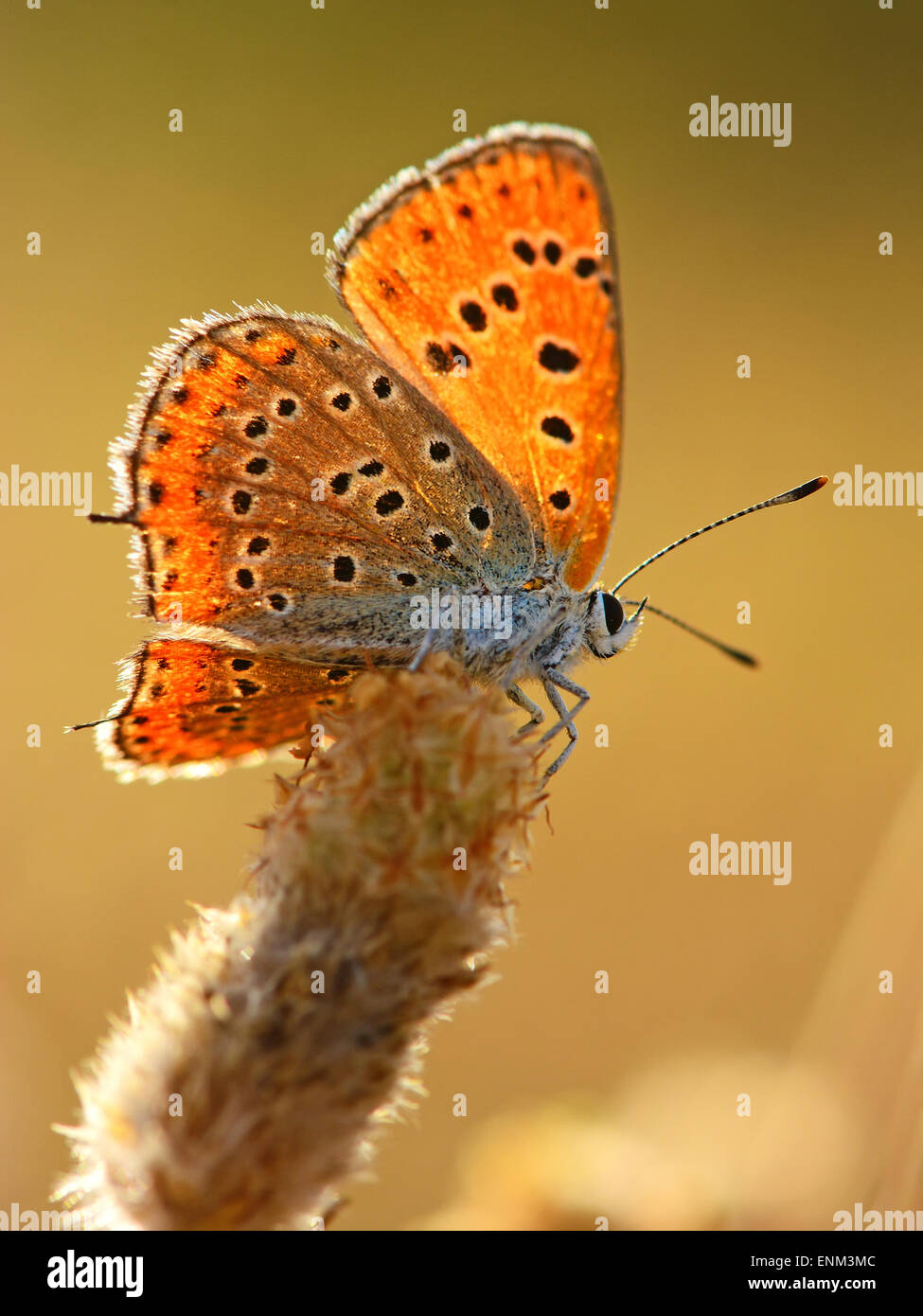 Fiery moindre,Lycaena Thersamon Cuivre Photo Stock
