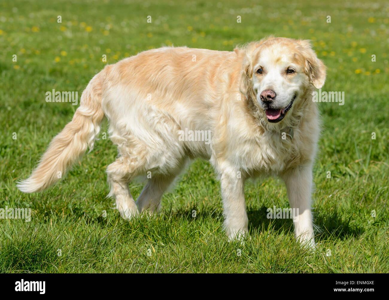 Vue latérale d'un golden retriever du Labrador chien dans un parc. Banque D'Images