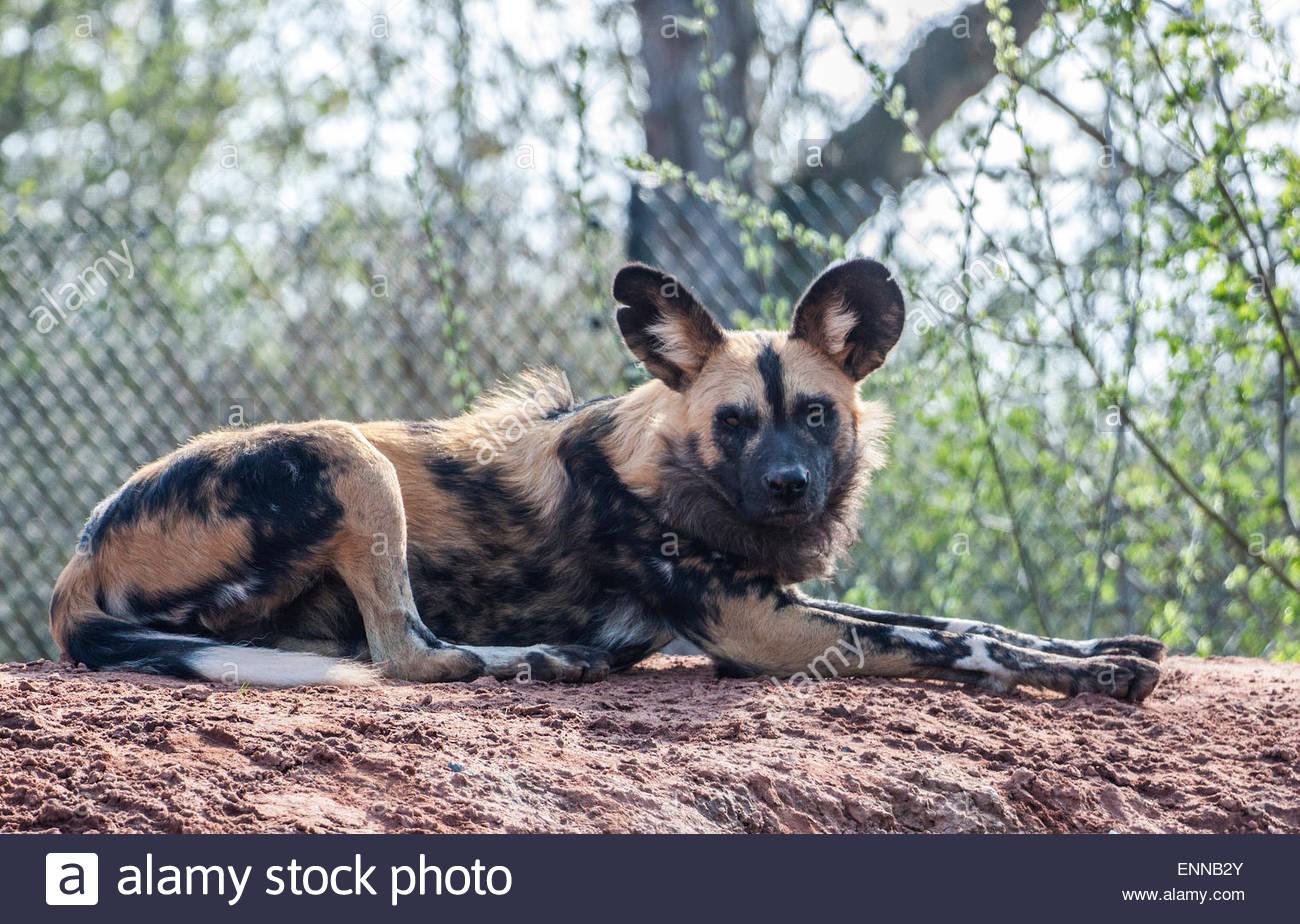 Chien Peint l'afrique sauvage chien peint banque d'images, photo stock: 82218947