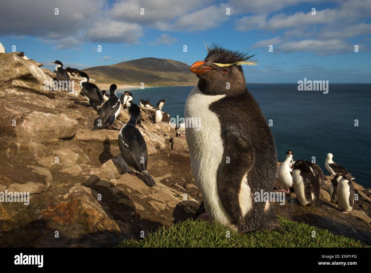 Le Sud de l'Adultes Rockhopper Penguin Eudyptes chrysocome dans la rookerie Iles Falkland Photo Stock