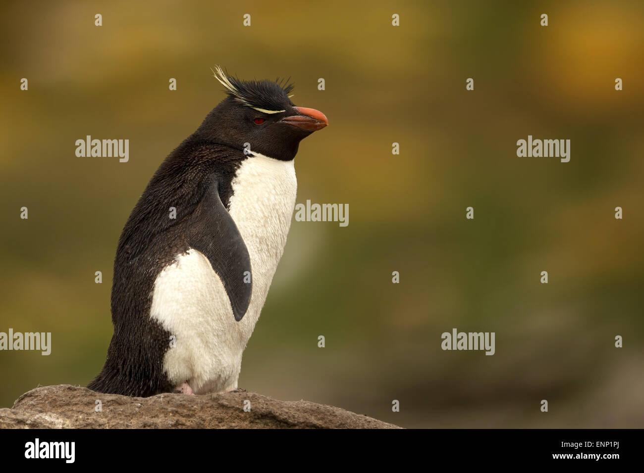 Le Sud de l'Adultes Rockhopper Penguin Eudyptes chrysocome contre l'arrière-plan coloré, îles Photo Stock