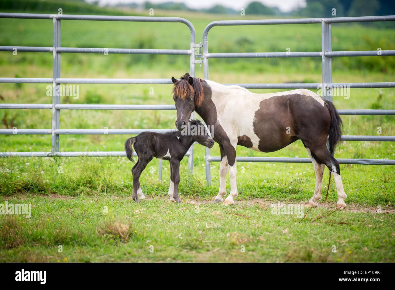 Mère cheval avec son poulain près de Hurlock, Maryland, USA, debout près d'une clôture haute Photo Stock