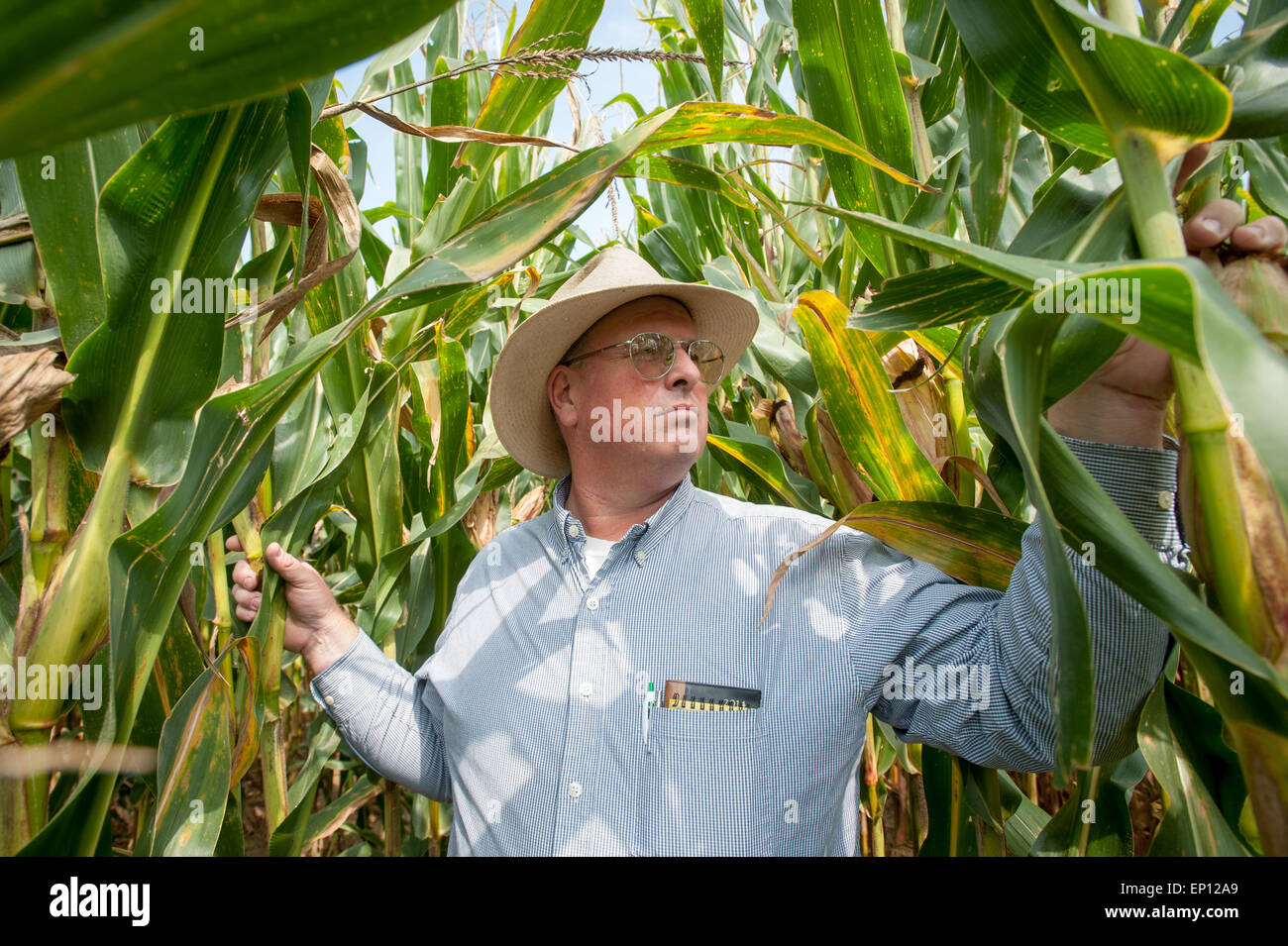 Farmer wearing hat, l'inspection de champ de maïs dans la région de Clear Spring, Maryland, USA Photo Stock