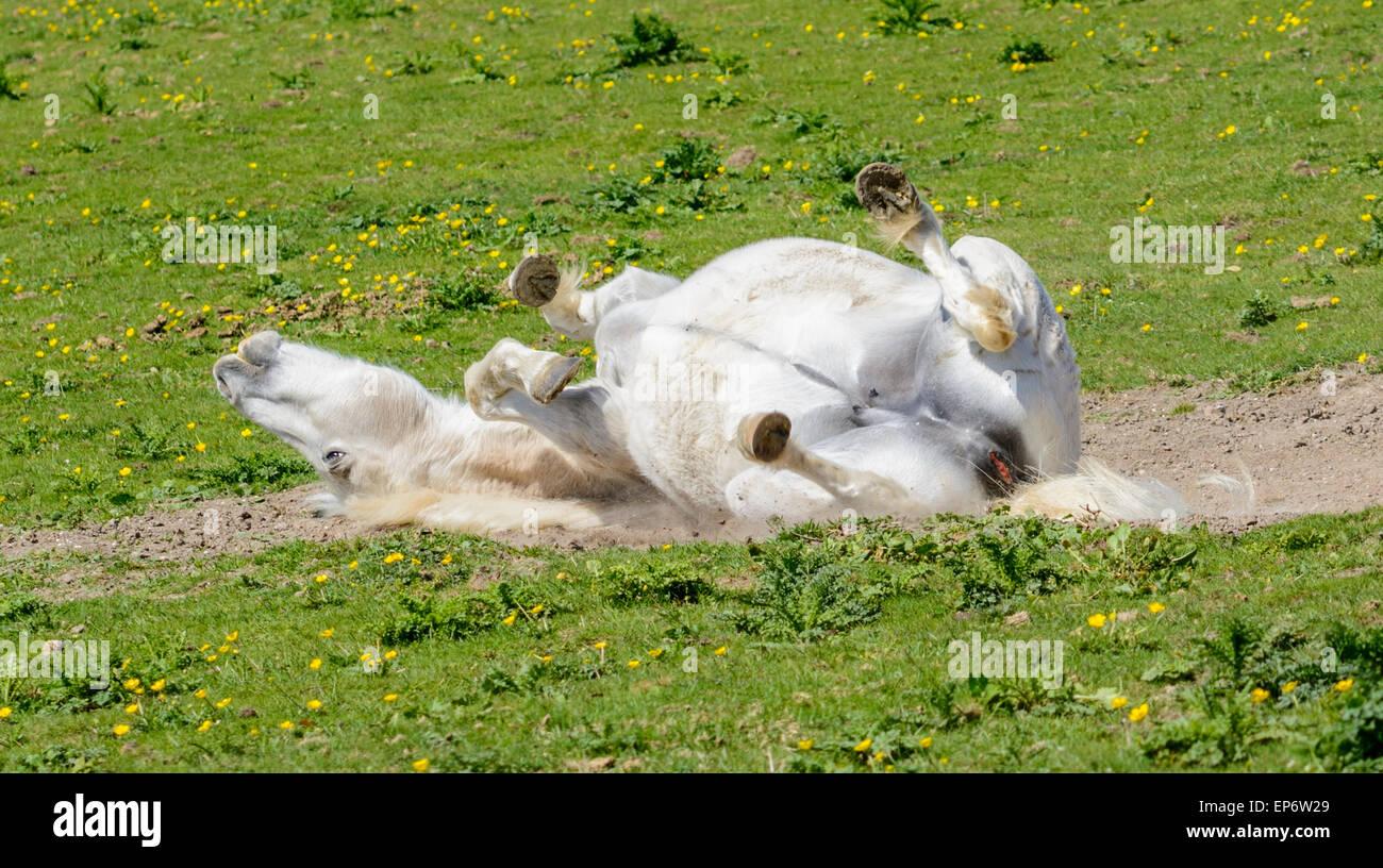 Cheval blanc domestique roulant autour dans un champ. Photo Stock