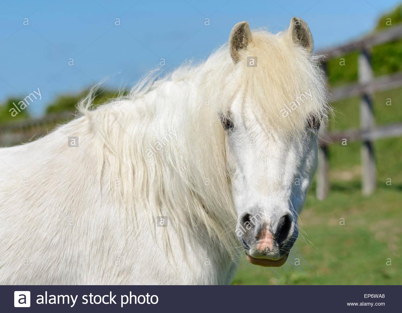 Branche de cheval blanc dans un champ à la recherche de l'appareil photo. Photo Stock