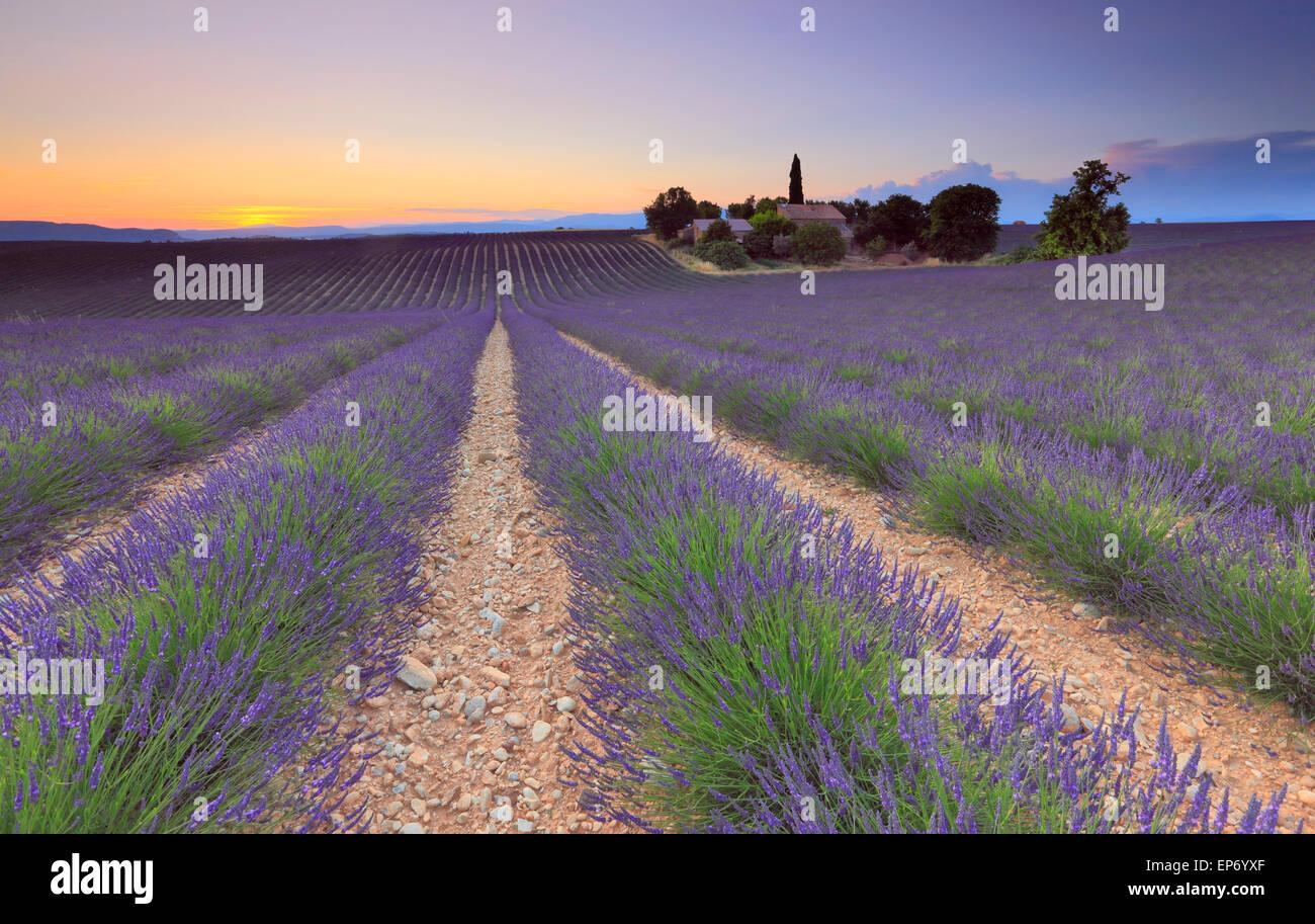 Champ de lavande au coucher du soleil à Valensole, Provence, France Photo Stock
