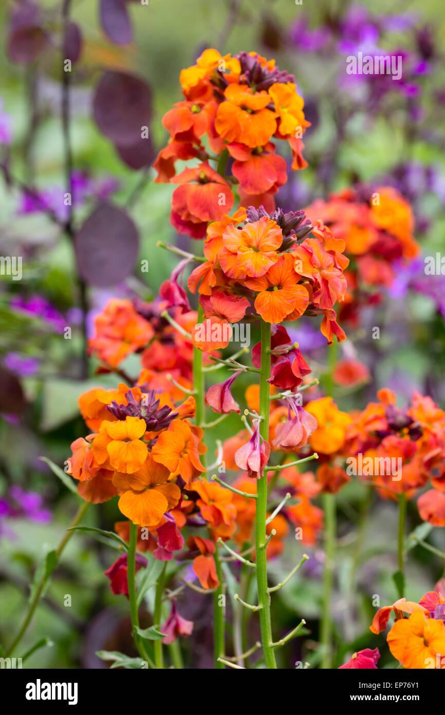 Fleurs aux couleurs vives de la floraison longue Erysimum giroflée, vivace 'Apricot Twist' Photo Stock