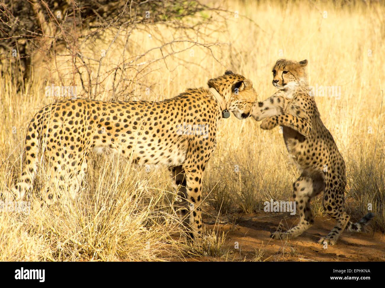 L'Afrique, la Namibie. Fondation AfriCat. Les jeunes cheetah jouer avec mère Guépard. Photo Stock