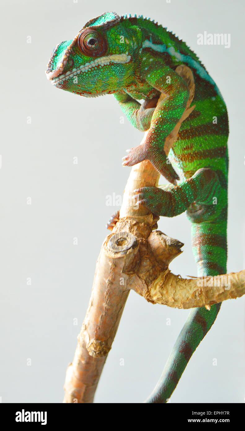 Caméléon panthère (furcifer pardalis) Photo Stock