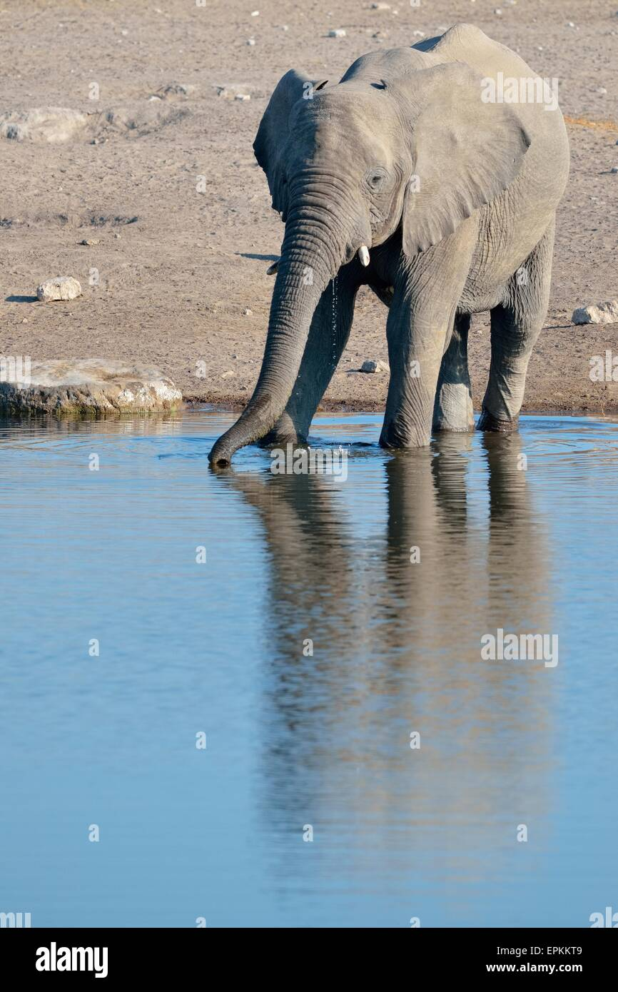 L'éléphant africain (Loxodonta africana), homme, de boire à un point d'Etosha National Park, Photo Stock