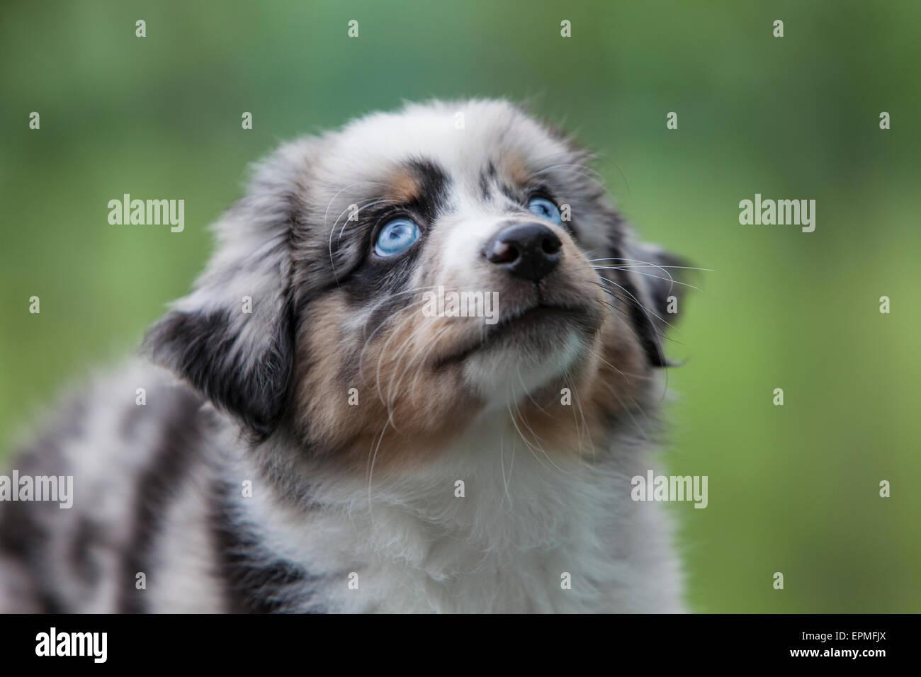 Chiots berger australien sont agiles, énergique et mature dans l'élevage d'une valeur et les chiens fidèles compagnons qui veulent s'il vous plaît. Banque D'Images