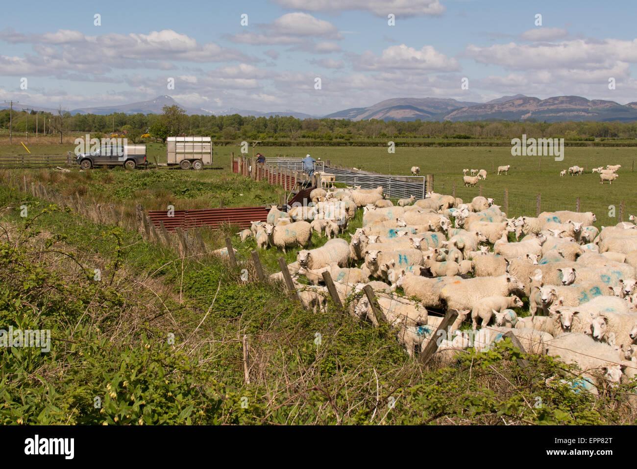 L'élevage de moutons au printemps sur le Carse de Stirling, Scotland, UK Photo Stock